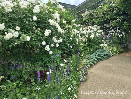 みつけイングリッシュガーデンの白いバラ